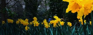 About Us with daffodils